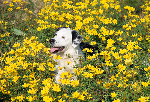DOG 01 JN0045 01 © Kimball Stock Border Collie Laying In Field Of Wildflowers