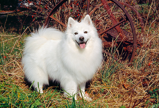 DOG 01 JN0048 01 © Kimball Stock American Eskimo Standing On Grass