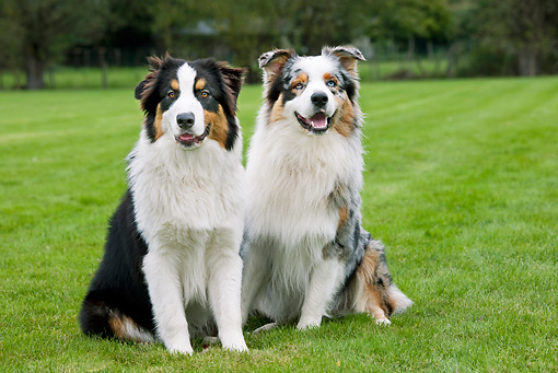 DOG 01 JS0018 01 © Kimball Stock Two Australian Shepherds Sitting On Grass Field