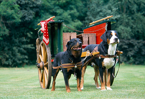 DOG 01 JS0037 01 © Kimball Stock Greater Swiss Mountain Dogs Pulling Wagon On Grass