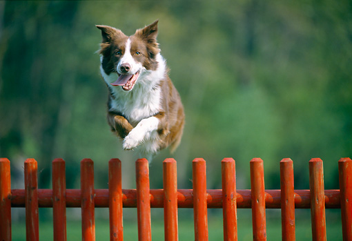 DOG 01 JS0041 01 © Kimball Stock Border Collie Jumping Over Red Fence