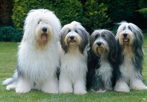 DOG 01 JS0048 01 © Kimball Stock Four Old English Sheepdogs Sitting On Grass