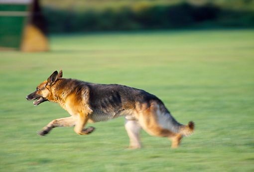 DOG 01 JS0050 01 © Kimball Stock German Shepherd Running On Grass Field