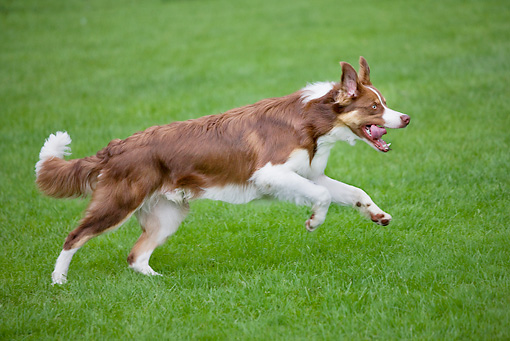 DOG 01 JS0056 01 © Kimball Stock Border Collie Running On Grass