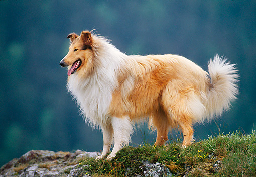 DOG 01 KH0096 01 © Kimball Stock Rough Collie Standing On Grassy Rock Profile