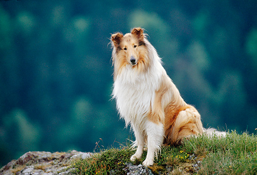 DOG 01 KH0097 01 © Kimball Stock Rough Collie Sitting On Grassy Rock