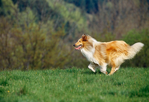 DOG 01 KH0098 01 © Kimball Stock Rough Collie Running On Grass Profile