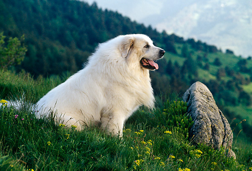 DOG 01 KH0104 01 © Kimball Stock Great Pyrenees Sitting On Grass Profile