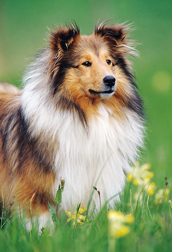 DOG 01 KH0105 01 © Kimball Stock Close-Up Of Shetland Sheepdog Standing In Grass By Yellow Flowers