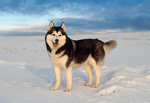 Siberian Husky Standing In Snow Kimballstock