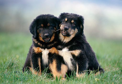 DOG 01 KH0110 01 © Kimball Stock Tibetan Mastiff Puppies Sitting In Grass Playing With Twig