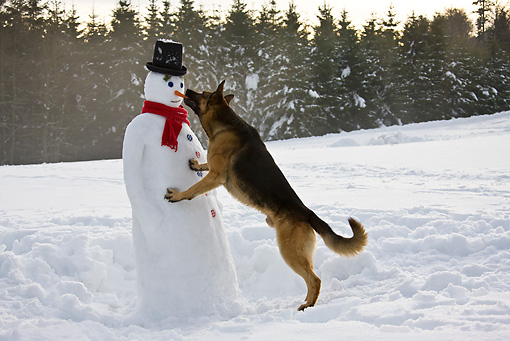 DOG 01 KH0114 01 © Kimball Stock German Shepherd Biting Carrot Nose Of Snowman