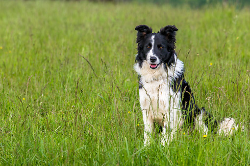 DOG 01 KH0116 01 © Kimball Stock Border Collie Male Sitting In Meadow France
