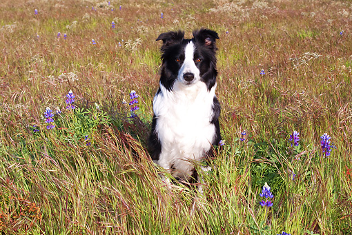 DOG 01 LS0057 01 © Kimball Stock Border Collie Sitting In Field With Purple Flowers