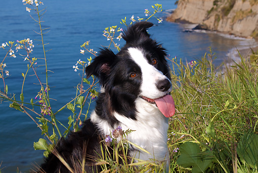 DOG 01 LS0059 01 © Kimball Stock Border Collie Sitting In Field By Beach