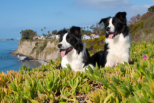 DOG 01 LS0060 01 © Kimball Stock Border Collies Laying In Field Of Ice Plant By Beach Cliffs