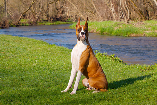 DOG 01 LS0061 01 © Kimball Stock Boxer Sitting On Grass By Stream
