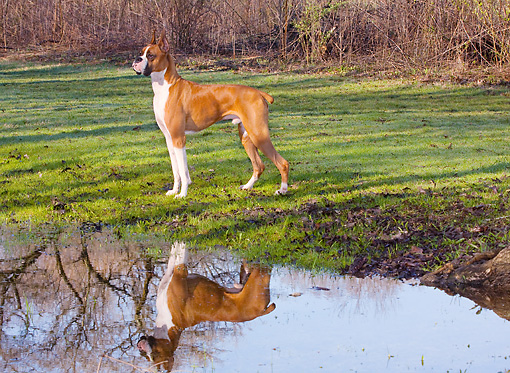 DOG 01 LS0062 01 © Kimball Stock Boxer Standing On Grass By Water