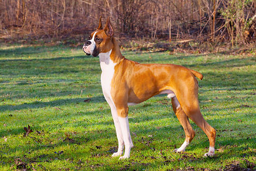 DOG 01 LS0064 01 © Kimball Stock Boxer Standing On Grass