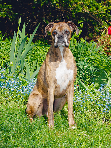 DOG 01 LS0066 01 © Kimball Stock Boxer Sitting On Grass By Blue Flowers