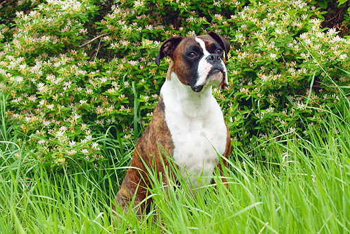 DOG 01 LS0067 01 © Kimball Stock Boxer Sitting In Tall Grass By Shrub