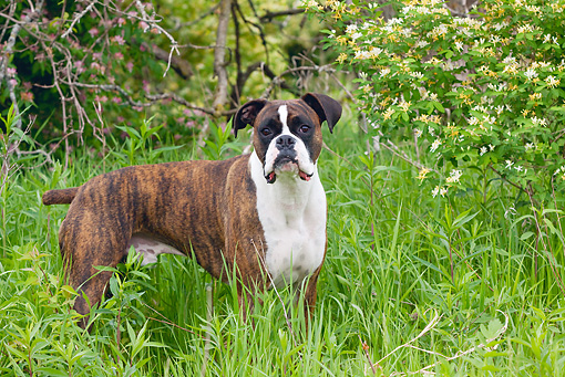 DOG 01 LS0069 01 © Kimball Stock Boxer Standing In Tall Grass By Shrub