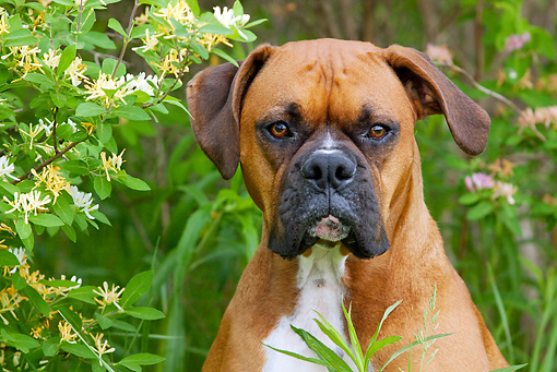 DOG 01 LS0073 01 © Kimball Stock Head Shot Of Boxer Sitting By Yellow And White Flowers