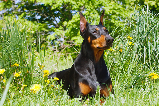 DOG 01 LS0078 01 © Kimball Stock Doberman Pinscher Laying On Grass By Dandelions