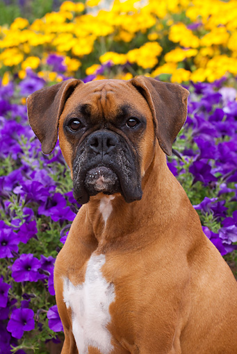 DOG 01 LS0080 01 © Kimball Stock Close-Up Of Boxer Sitting By Purple And Yellow Flowers