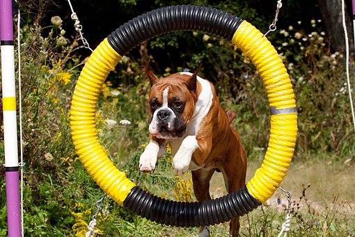 DOG 01 LS0086 01 © Kimball Stock Boxer Leaping Through Agility Hoop