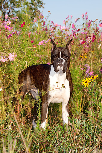 DOG 01 LS0088 01 © Kimball Stock Male Brindle Boxer Standing In Cosmos Flowers