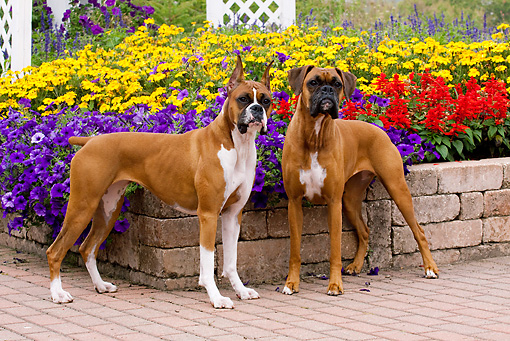 DOG 01 LS0090 01 © Kimball Stock Two Boxers Standing On Stone And Brick Patio By Flower Garden