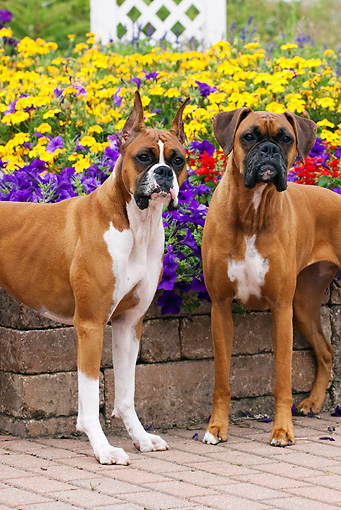 DOG 01 LS0091 01 © Kimball Stock Close-Up Of Two Boxers Standing On Stone And Brick Patio By Flower Garden
