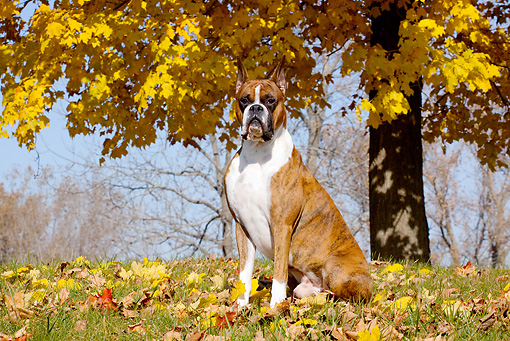DOG 01 LS0094 01 © Kimball Stock Brindle Boxer Sitting Under Yellow Maple Leaves