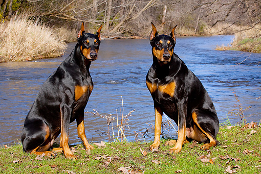 DOG 01 LS0097 01 © Kimball Stock Two Doberman Pinschers Sitting On Grassy Stream Bank