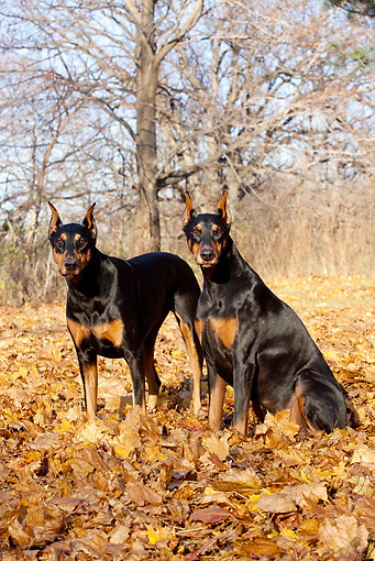 DOG 01 LS0099 01 © Kimball Stock Two Doberman Pinschers Standing And Sitting In Yellow Maple Leaves