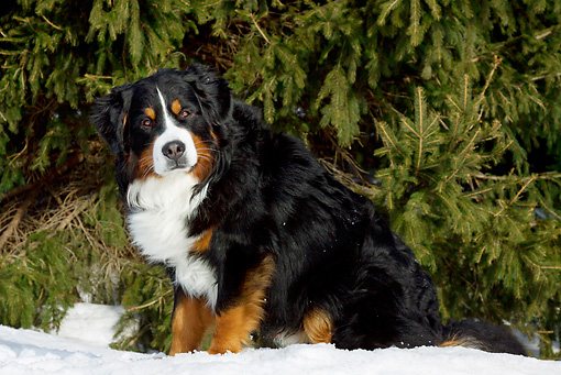DOG 01 LS0104 01 © Kimball Stock Bernese Mountain Dog Sitting On Snow By Spruce Tree
