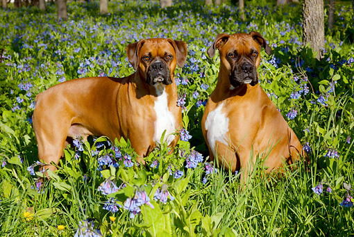 DOG 01 LS0106 01 © Kimball Stock Two Male Boxers With Natural Ears In Virginia Bluebells
