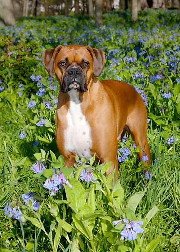 DOG 01 LS0107 01 © Kimball Stock Male Boxers With Natural Ears Standing In Virginia Bluebells