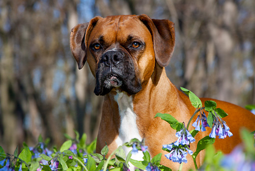 DOG 01 LS0108 01 © Kimball Stock Head Shot Of Male Boxer With Natural Ears Standing In Virginia Bluebells