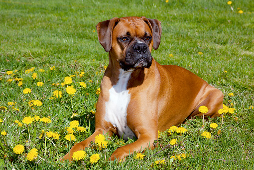 DOG 01 LS0109 01 © Kimball Stock Male Boxer With Natural Ears Laying In Grass And Dandelions