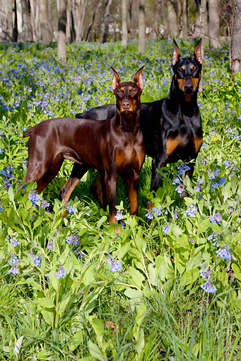 DOG 01 LS0110 01 © Kimball Stock Doberman Pinscher Male And Female Standing In Virginia Bluebells