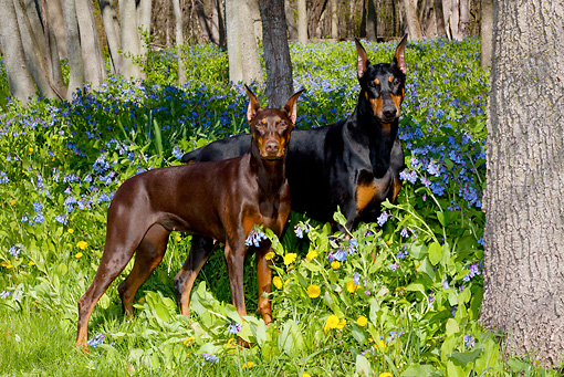 DOG 01 LS0111 01 © Kimball Stock Doberman Pinscher Male And Female Standing In Virginia Bluebells
