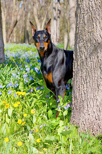 DOG 01 LS0112 01 © Kimball Stock Doberman Pinscher Male Standing Behind Tree In Virginia Bluebells