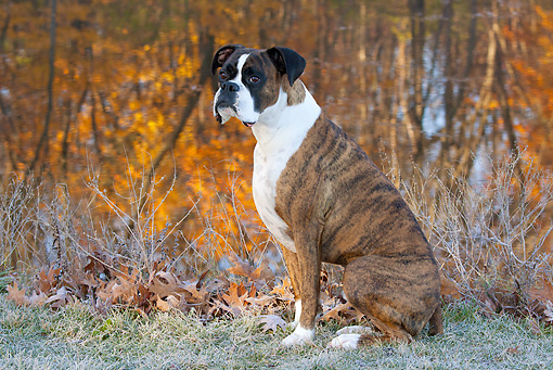 DOG 01 LS0118 01 © Kimball Stock Male Boxer Sitting On Frosty Grass By Lake In Autumn