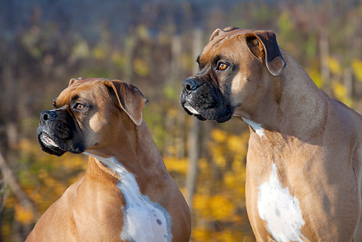 DOG 01 LS0120 01 © Kimball Stock Close-Up Of Male Boxers By Lake In Autumn