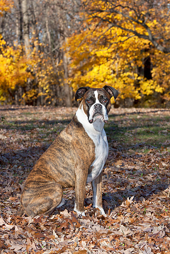 DOG 01 LS0121 01 © Kimball Stock Male Boxer Sitting In Autumn Leaves