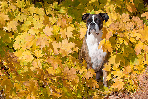 DOG 01 LS0122 01 © Kimball Stock Male Boxer Sitting In Autumn Leaves
