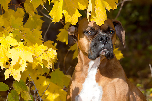 DOG 01 LS0123 01 © Kimball Stock Close-Up Of Male Boxer Sitting In Autumn Leaves