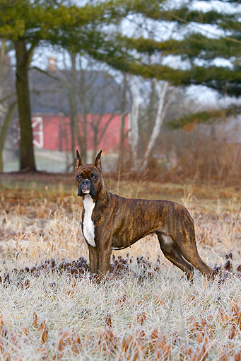 DOG 01 LS0125 01 © Kimball Stock Boxer Standing On Frosty Grass By Barn